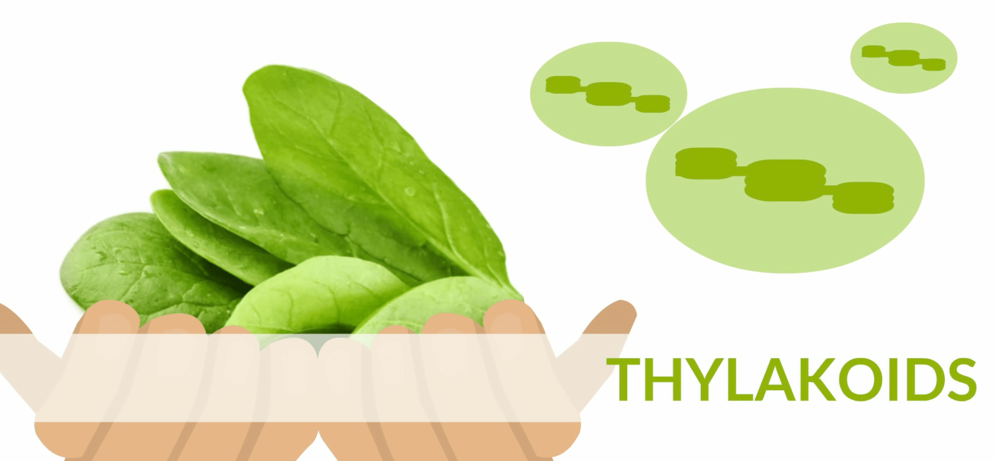 Simple Spinach Thylakoids