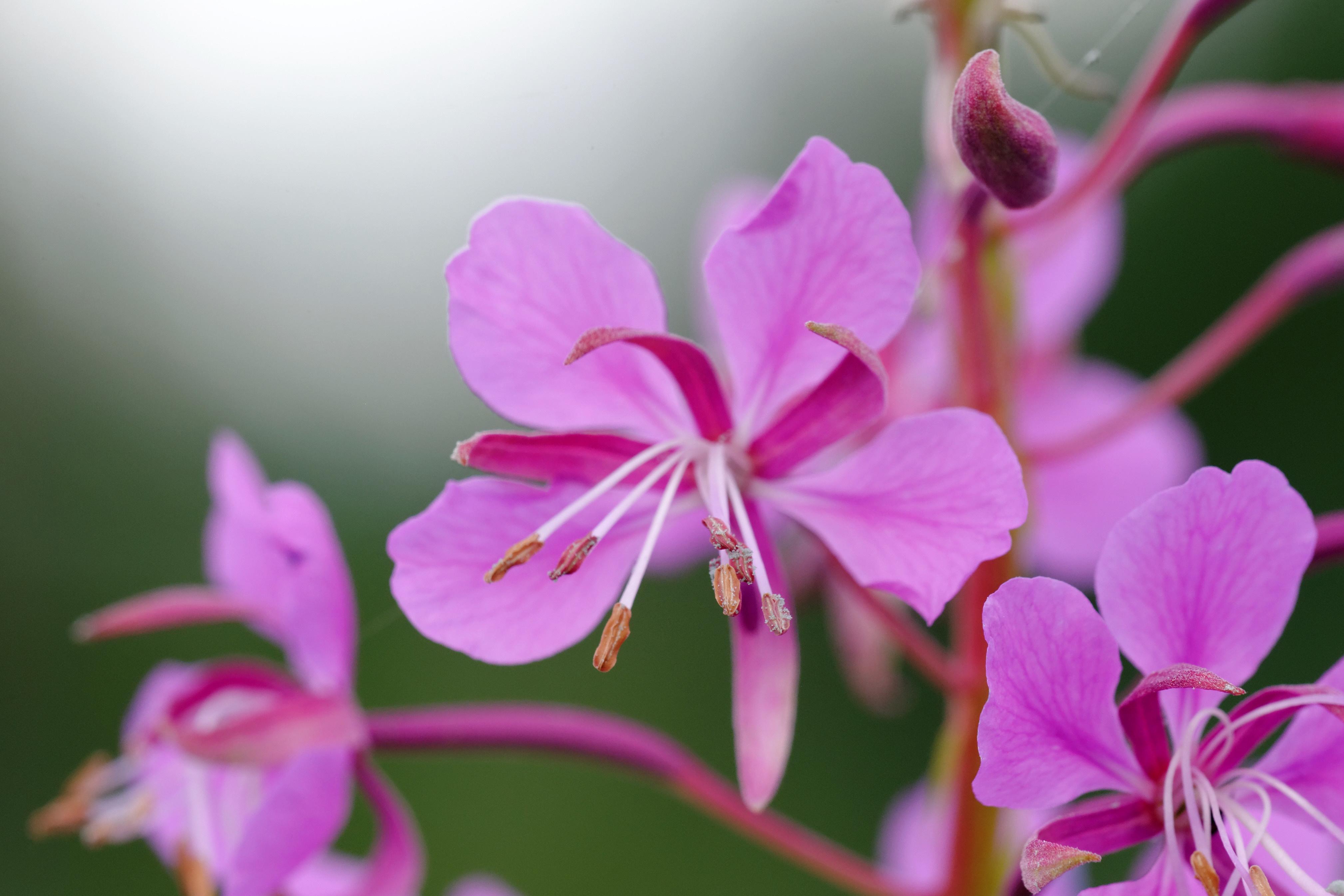 Willowherb flowers